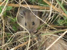 Söt liten mus