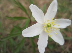 Jag blommar