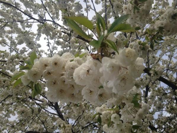 Vårblom