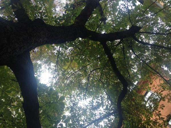 Kastanjträdet
