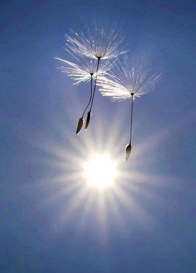 Sol och maskrosor